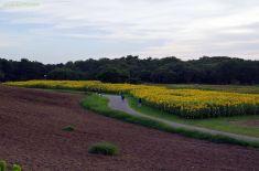 見晴らしの丘から見たひまわり畑