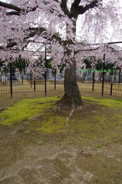 枝垂れ桜の根元