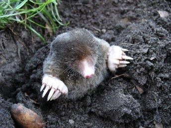 democratic mole