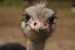 democratic ostrich