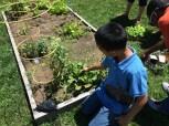 Harvesting the too-big radish