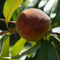 Reliance Peach Tree Production Two Years After Planting