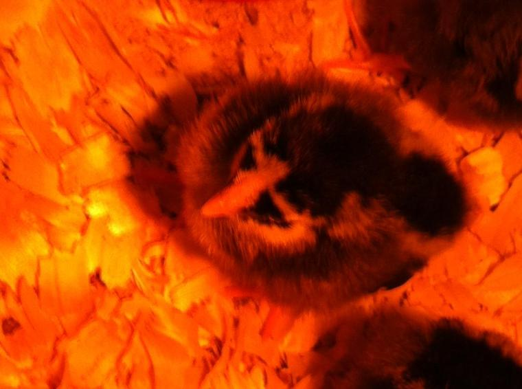 Barred Plymouth Rock Chicks