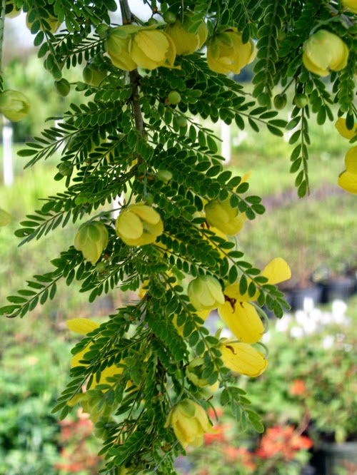 Cassia Essential Oil Derived from the bark of the Cassia Tree