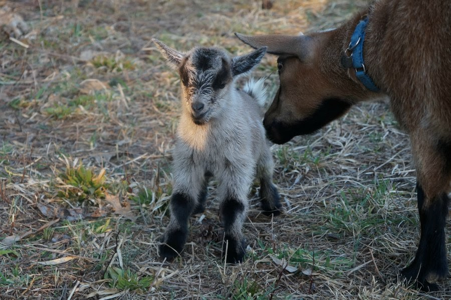 Newborn Nigerian Dwarf Doeling