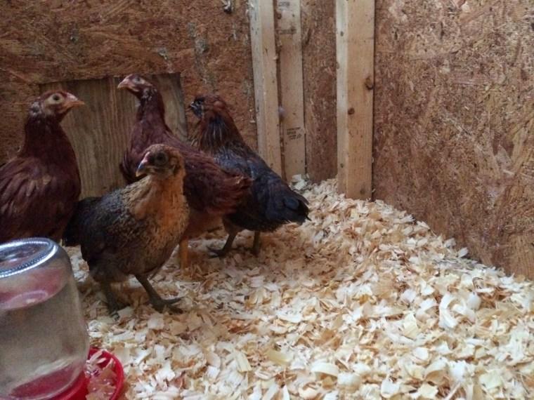 7 Week Old Chicks in New Coop