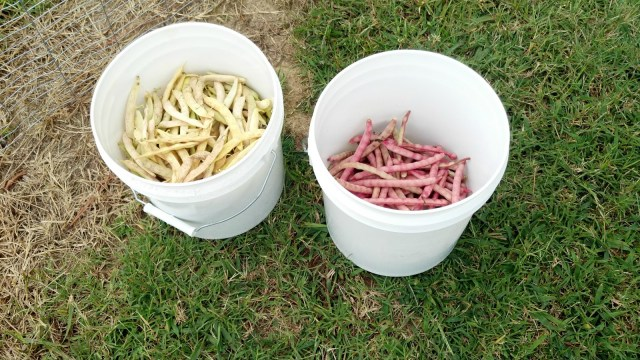 Pinto Beans and Top-Pick Crowder Peas