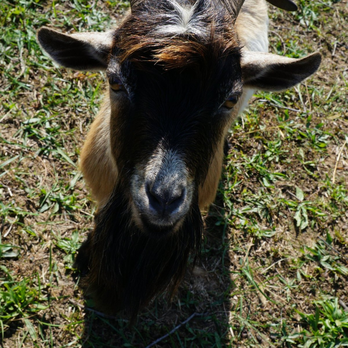 8 Things to Know Before Owning a Buck Goat