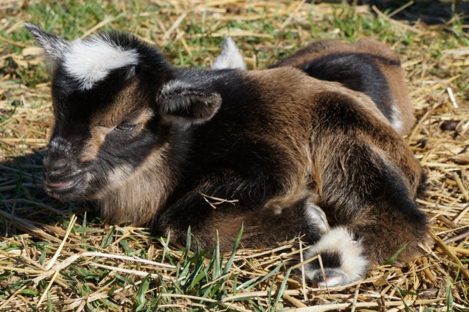 Nigerian Dwarf Goat Buckling One Day Old