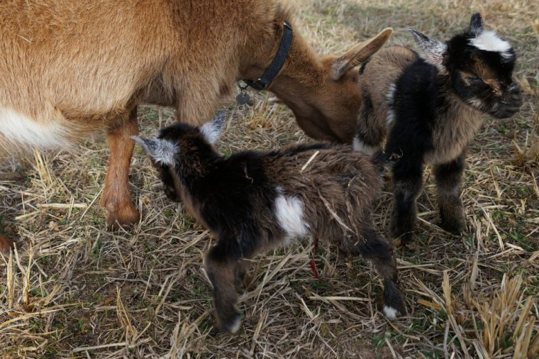 Nigerian Dwarf Goat Doe with Twin Kids Just Born