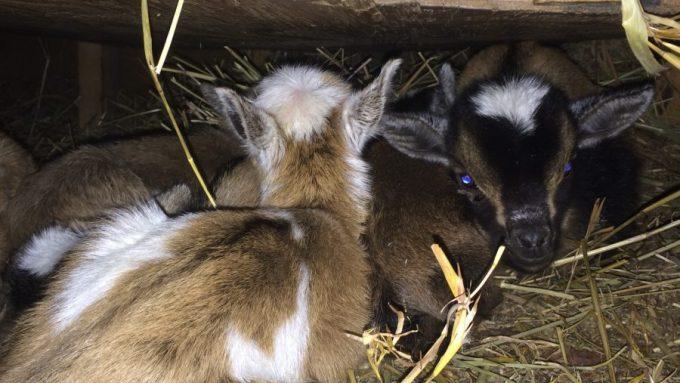 Nigerian Dwarf Goat Kids Sleeping Under Hay Feeder