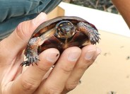 spotted turtle5