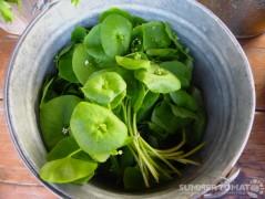 Miner's Lettuce Bucket