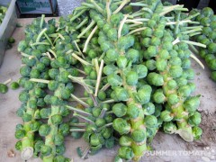 Brussels Sprouts Stalks