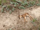 Poor doe laid down to die right in the middle of the trail