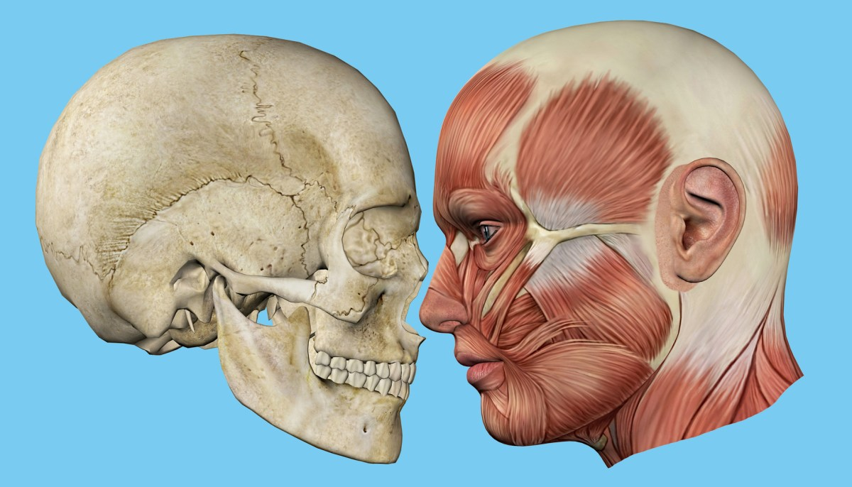Skull and Muscles Profile: Featuring mandible, occipital bone ...