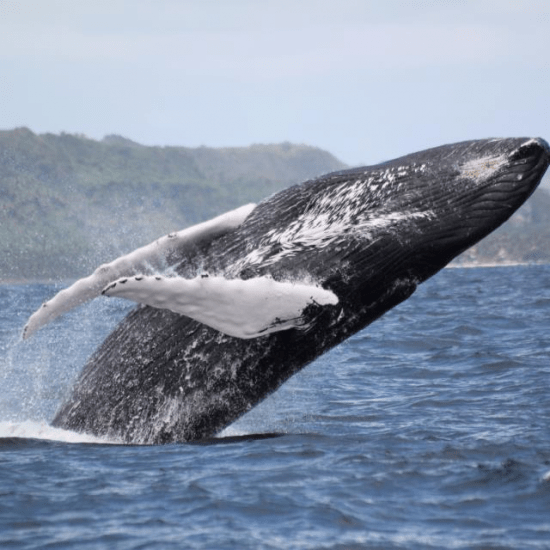 Whales in samana