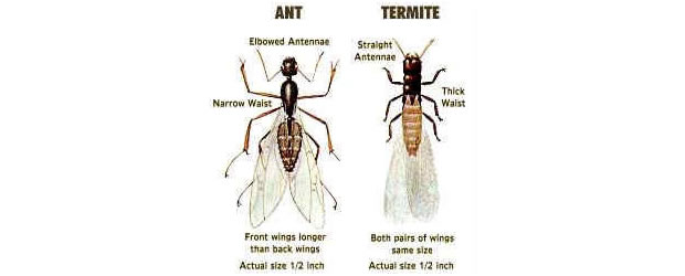 How To Identify A Termite Summit Termite Pest Control