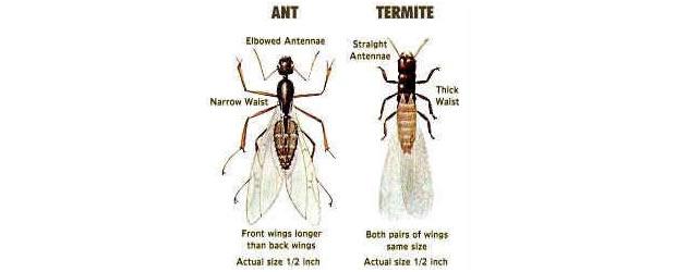 Ant or Termite?