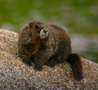 Mt. Evans marmot.