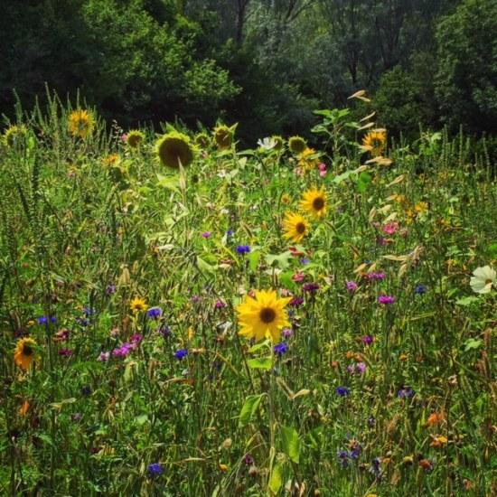 Wildflowers near La Palud-sur-Verdon