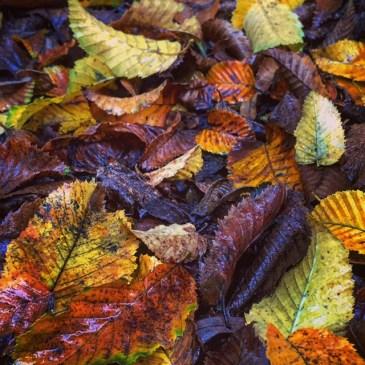Chestnut leaves piling up.