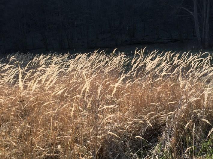 Dried grass Thayatal national park