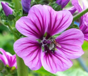 Bee pollinating a native mallow species in Lower Austria