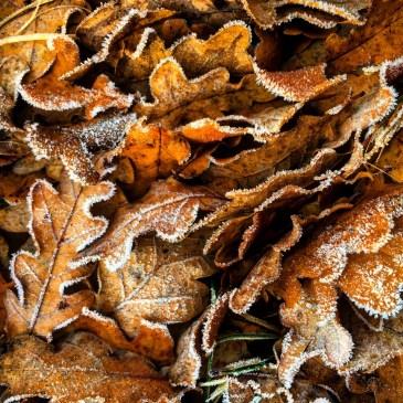 Oak leaves.