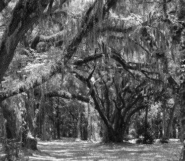 Florida oaks.
