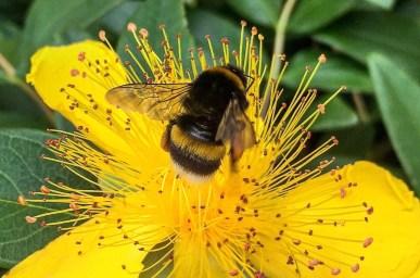 A common bumblebee visits a garden in Vienna, Austria.