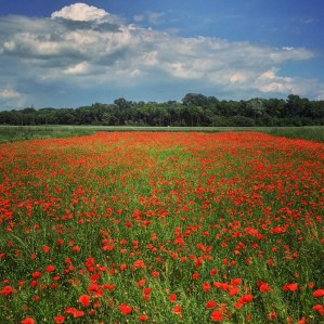 Poppy field, Lower Austria.