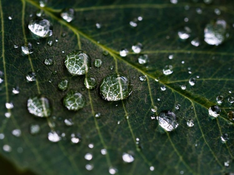 Rainwater Droplets on a Leaf (closeup)