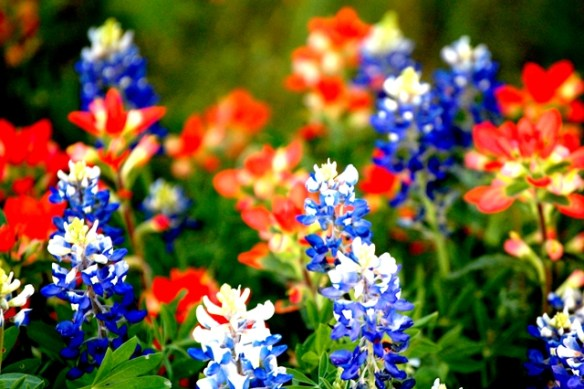 Texas Bluebonnets mingle with Indian Paintbrushes near Cool, Texas