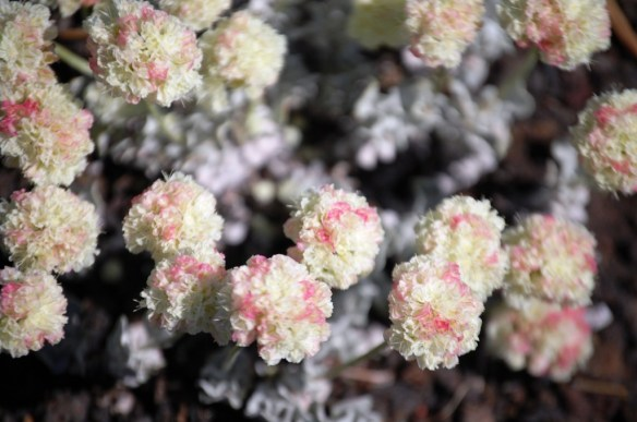 Buckwheat flowers at Craters of the Moon.  The blossoms are about the size of a US dime
