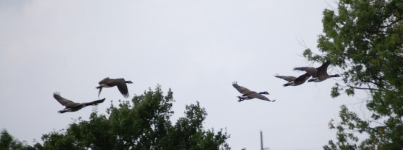 Geese take flight in Kentucky