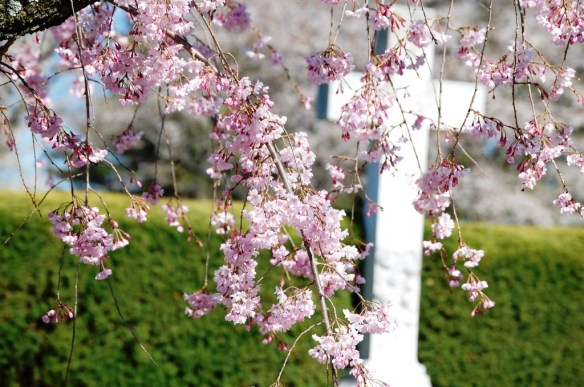 Cherry Blossoms at Lexington Cemetery in Spring