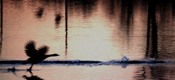A Canadian Goose lands in the lake