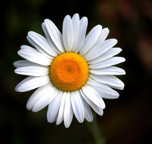 Ox-Eye Daisy from McKee, KY