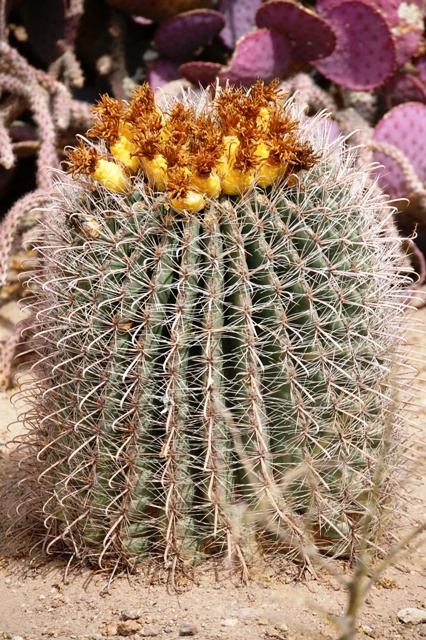 This barrel cactus in bloom was also taken in Tucson, AZ