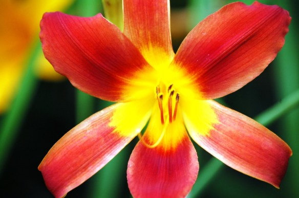 A brightly colored lily found in Woodford County, Kentucky