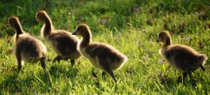 Goslings - Jacobson Park, Lexington, KY