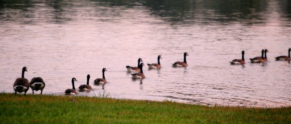 Geese get in the water, in line, one at a time