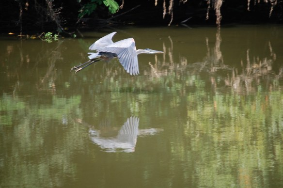 A blue heron glides over the Kentucky River