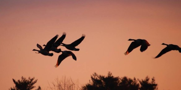 Geese in Flight - notice the light reflecting on the wings