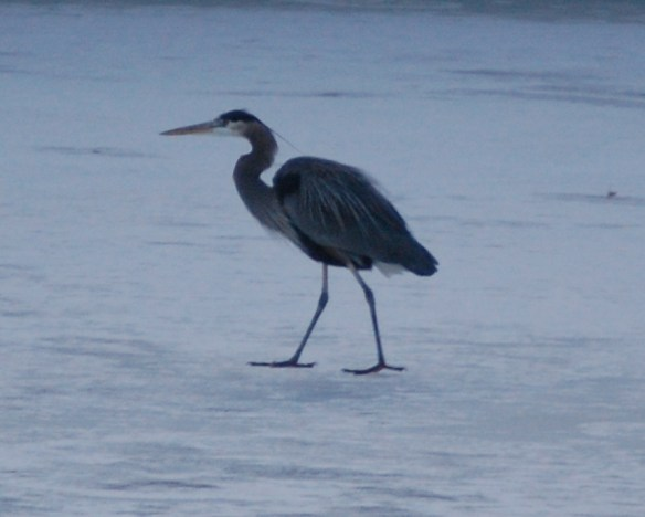 A blue heron walks on a frozen pond