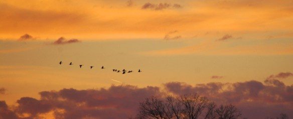 Geese in flight overhead at dawn