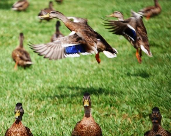 Ducks in flight at Jacobson Park in Lexington, KY