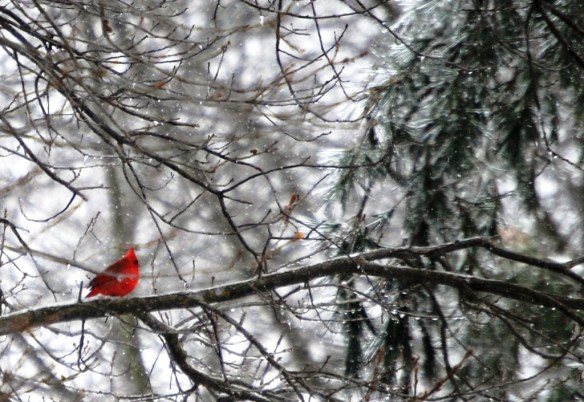 A fluffy cardinal perched on snow covered tree in my backyard