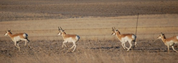 Antelope scamper across the prairie in Eastern Montana